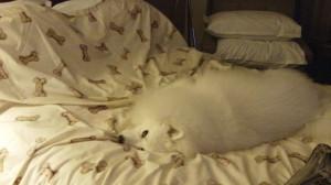 American Eskimo Taking a Nap